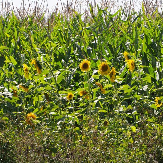 Sonnenblumen 540x540 - Impressionen