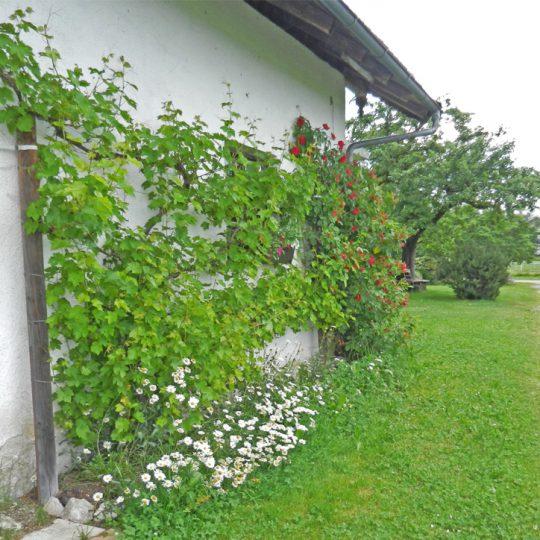 Weinrebe Moier Hof 540x540 - Impressionen